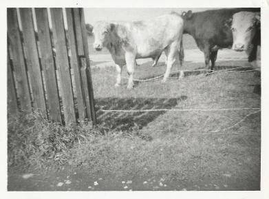 Cows on Hedon Aerodrome
