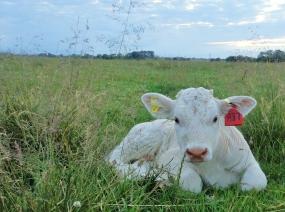 Calf on Hedon Aerodrome